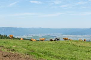 阿蘇 放牧牛の写真素材 [FYI04863335]