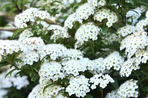 満開に咲いたコデマリ(バラ科シモツケ属の落葉低木)の白い花の写真素材 [FYI04863629]