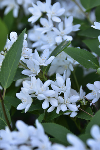 満開に咲いたヒメウツギ(アジサイ科ウツギ属)の白い花と葉の写真素材 [FYI04863634]