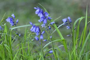 イングリッシュブルーベルの花(ツルボ亜科ヒアシントイデス属)の青い釣り鐘のような可憐な花の写真素材 [FYI04863639]