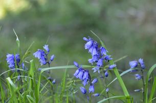 イングリッシュブルーベルの花(ツルボ亜科ヒアシントイデス属)の青い釣り鐘のような可憐な花の写真素材 [FYI04863642]