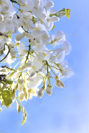 フジ(マメ科落葉性のつる植物)の白い花と葉と空の写真素材 [FYI04863790]
