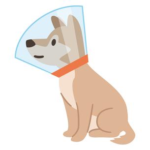 エリザベスカラーを巻いた犬のイラスト素材 [FYI04863974]