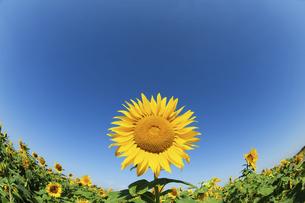 青空と大輪のヒマワリとヒマワリ畑の写真素材 [FYI04864237]