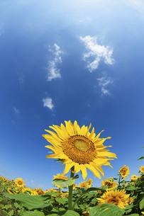 青空と大輪のヒマワリの写真素材 [FYI04864249]