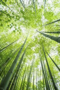 新緑の竹林の写真素材 [FYI04864282]