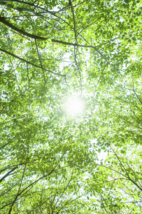 新緑の林に差し込む太陽の光の写真素材 [FYI04864304]