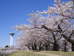 五稜郭タワーと桜の写真素材 [FYI04864338]