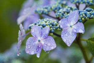 額紫陽花と水滴 本土寺の写真素材 [FYI04864624]