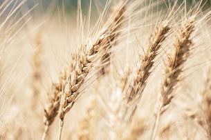 【農業】麦の穂の写真素材 [FYI04864689]