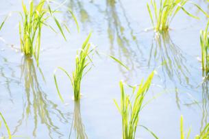 【農業】米の水田 田植えの写真素材 [FYI04864690]