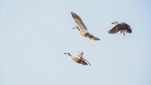 【鳥】三羽のカモが空を飛んでいる様子 バードウォッチングの写真素材 [FYI04864716]