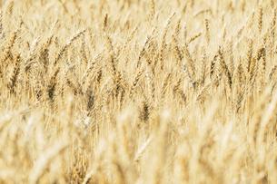 【農業】麦の穂の写真素材 [FYI04864717]