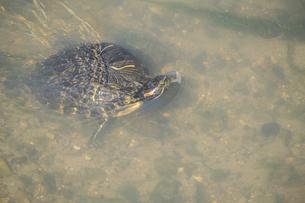 【動物】川の中のミシシッピアカミミガメの写真素材 [FYI04864718]
