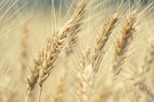 【農業】麦の穂の写真素材 [FYI04864719]