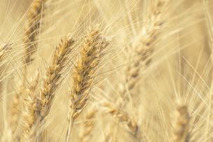 【農業】麦の穂の写真素材 [FYI04864722]