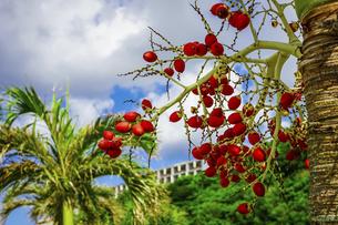 沖縄(瀬長島)の街路樹に生る赤い実(ビンロウジュの実)の写真素材 [FYI04864801]