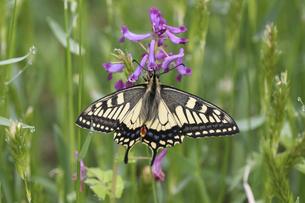 翅を広げるアゲハチョウの写真素材 [FYI04864908]