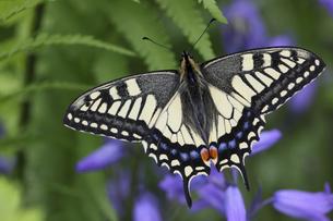 翅を広げるアゲハチョウの写真素材 [FYI04864909]