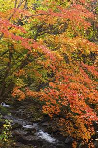 紅葉の照葉峡の写真素材 [FYI04864935]