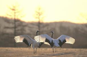 翼を広げて向き合うタンチョウ(北海道・鶴居村)の写真素材 [FYI04865051]