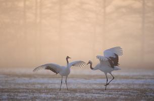 霧の中のタンチョウの舞(北海道・鶴居村)の写真素材 [FYI04865052]