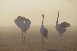 霧の中で鳴くタンチョウ(北海道・鶴居村)の写真素材 [FYI04865053]