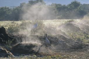 堆肥場で餌を探すタンチョウの家族(北海道・鶴居村)の写真素材 [FYI04865064]