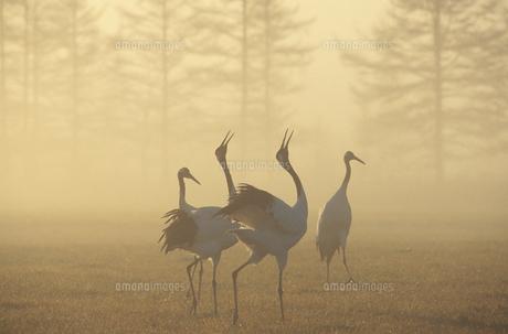 霧の中で鳴くタンチョウ(北海道・鶴居村)の写真素材 [FYI04865066]