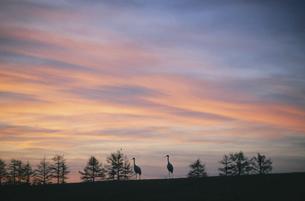朝焼けの丘を歩くタンチョウ(北海道・鶴居村)の写真素材 [FYI04865076]