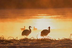 朝日に輝く湖畔のタンチョウ(北海道・標茶町)の写真素材 [FYI04865082]