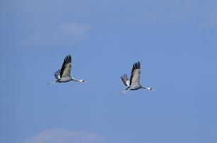 青空を飛ぶマナヅル(鹿児島県・出水市)の写真素材 [FYI04865085]