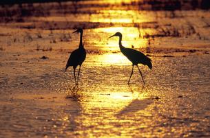 夕陽の湿地を歩くツル(鹿児島県・出水市)の写真素材 [FYI04865090]