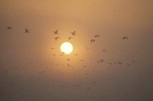 朝日を横切って飛ぶツルの群(鹿児島県・出水市)の写真素材 [FYI04865091]
