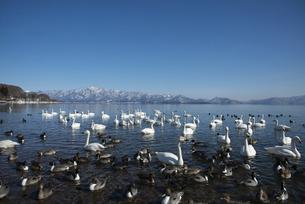 猪苗代湖の白鳥の写真素材 [FYI04865118]