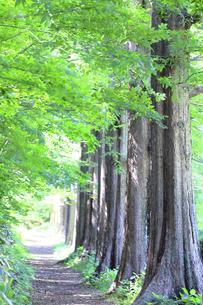 新緑のメタセコイア並木の写真素材 [FYI04865181]
