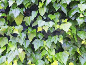 蔦の画像【ヘデラカナリエンシス,アイビー】の写真素材 [FYI04865225]
