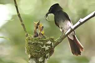 野鳥/サンコウチョウの写真素材 [FYI04865338]