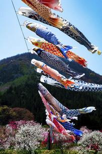 鯉のぼりと青空の写真素材 [FYI04865659]