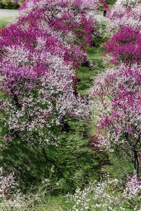 桃の花並木の写真素材 [FYI04865664]