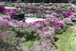 桃の花並木の写真素材 [FYI04865665]