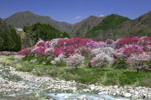桃の花並木と川の写真素材 [FYI04865666]