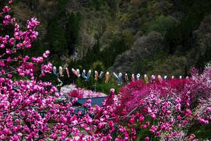 鯉のぼりと桃の花の写真素材 [FYI04865667]