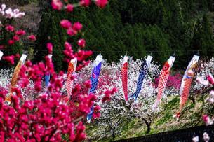 鯉のぼりと桃の花の写真素材 [FYI04865670]