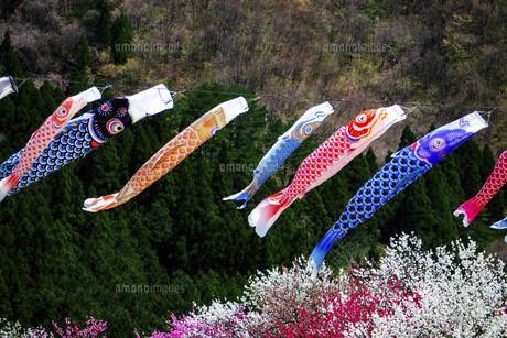 鯉のぼりと桃の花の写真素材 [FYI04865672]
