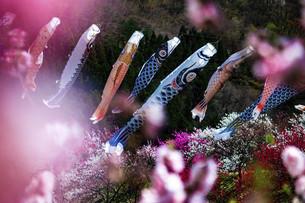 鯉のぼりと桃の花の写真素材 [FYI04865673]