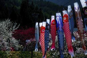 鯉のぼりと桃の花の写真素材 [FYI04865678]
