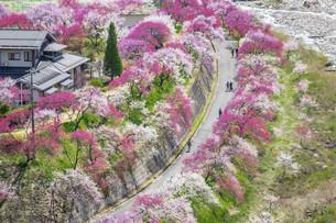 桃の花並木の写真素材 [FYI04865679]