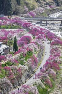 桃の花並木の写真素材 [FYI04865680]