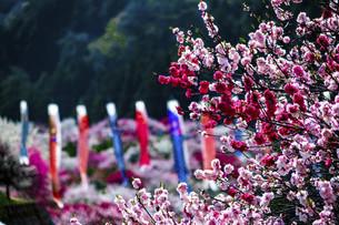 鯉のぼりと桃の花の写真素材 [FYI04865681]